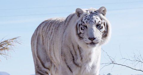 White Bengal tiger roaring directly into camera - slow motion