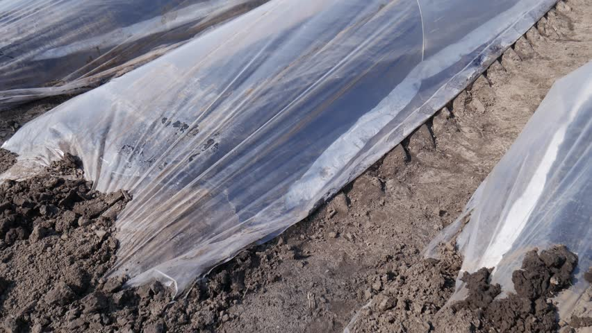Asparagus field rows tilt up before beginning harvest protected with plastic film at windy day 4k / Asparagus field rows tilt up before beginning harvest protected with plastic film at windy day 4k