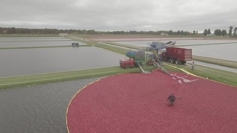 Harvesting Cranberries with farmer and Machinery - Aerial Drone Photography