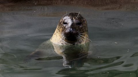(Phoca vitulina) pokes his head out of the water. Harbor seal resting in water