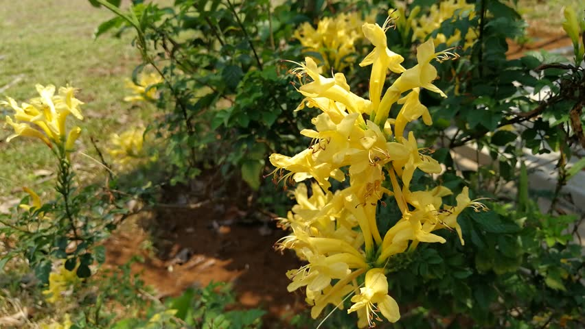 Yellow Honeysuckle Vines Flower (Long Soft Petals and Pollens Flowers, A Yellow Cluster Flower look like Azalea Group) Nature Background 4k Video Footage Clip