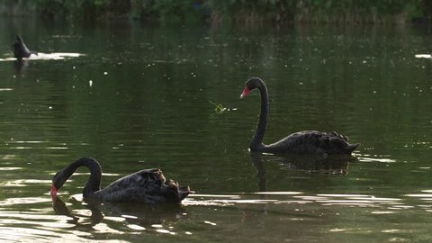 Slow motion of Black Swans swimming in the pond