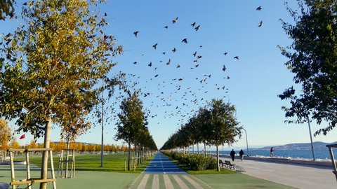 Cycling through the starling flock. Point of View (POV) Gyro stabilized shot. Orhangazi City Park or Recreational Park of Maltepe in Istanbul. Murmuration of starlings, a spectacular aerobatic display