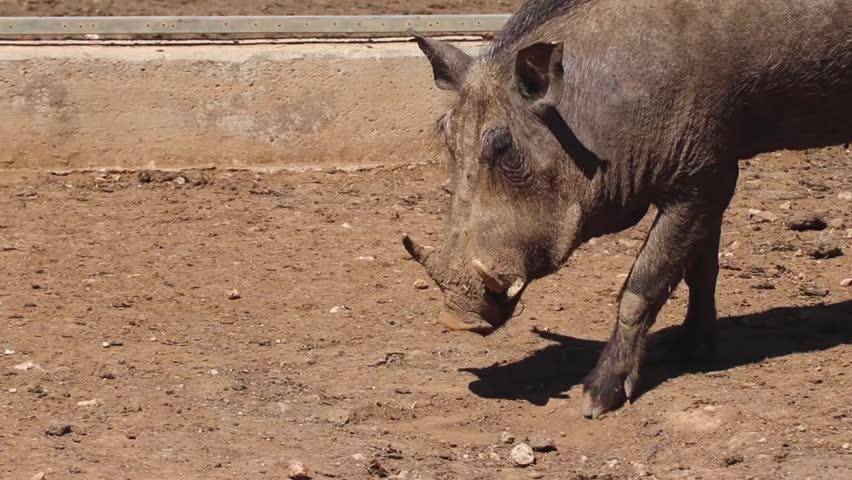 African warthog lying down in dirt