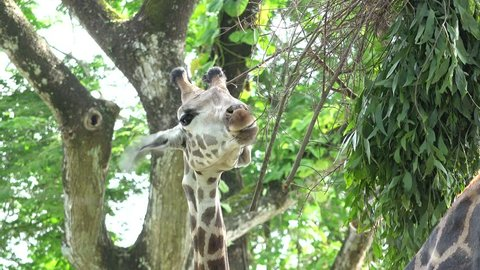 Close portrait of giraffe feeding with leaves from the top pf the tree