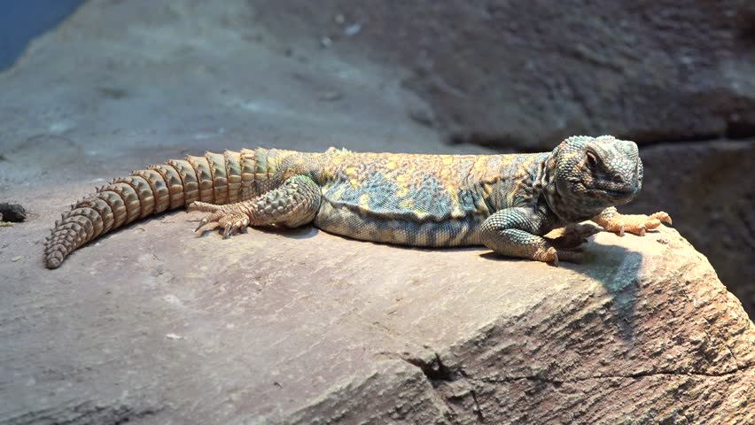 Ornate spiny-tailed lizard (Uromastyx ornata) sleeping
