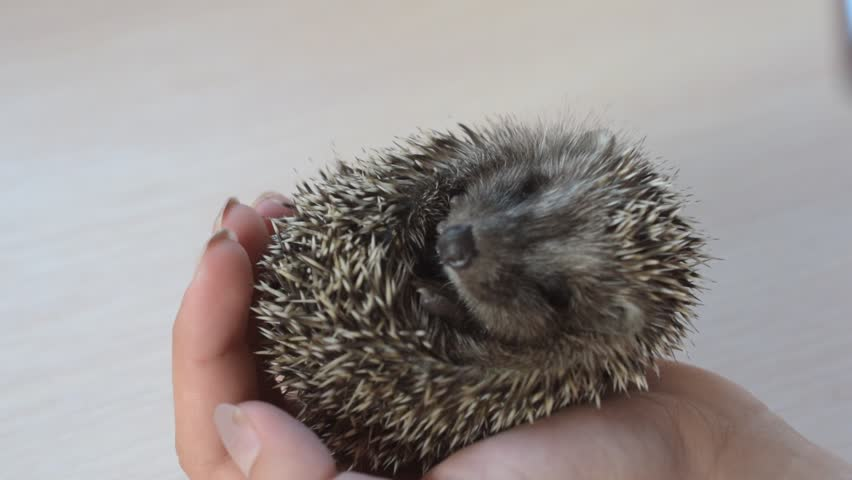 Small rolled young baby hedgehog held in human hands on white background