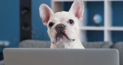 Close up french bulldog use reading on a laptop lying on sofa at home