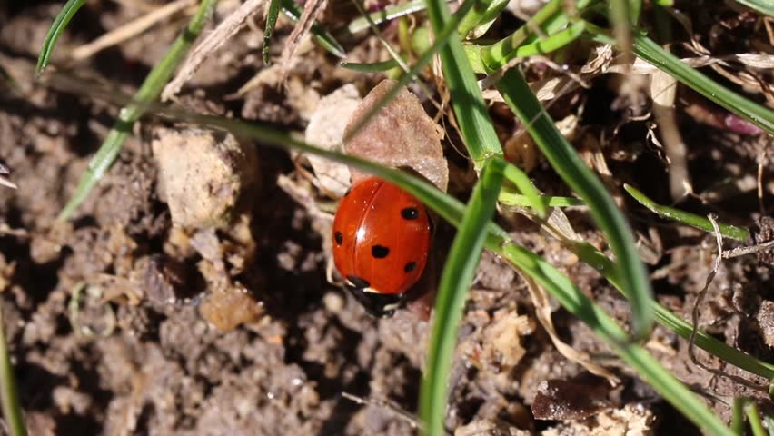 Lady bug close up walking in the garden. Cute insect macro red beetle outdoor in the grass. | Shutterstock HD Video #1009445222