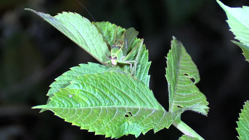 Katydid Adult Lone Sitting Night Green Camouflage Cryptic Spotlight