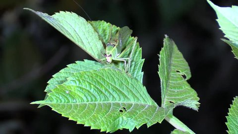Katydid Adult Lone Sitting Night Green Camouflage Cryptic Spotlight