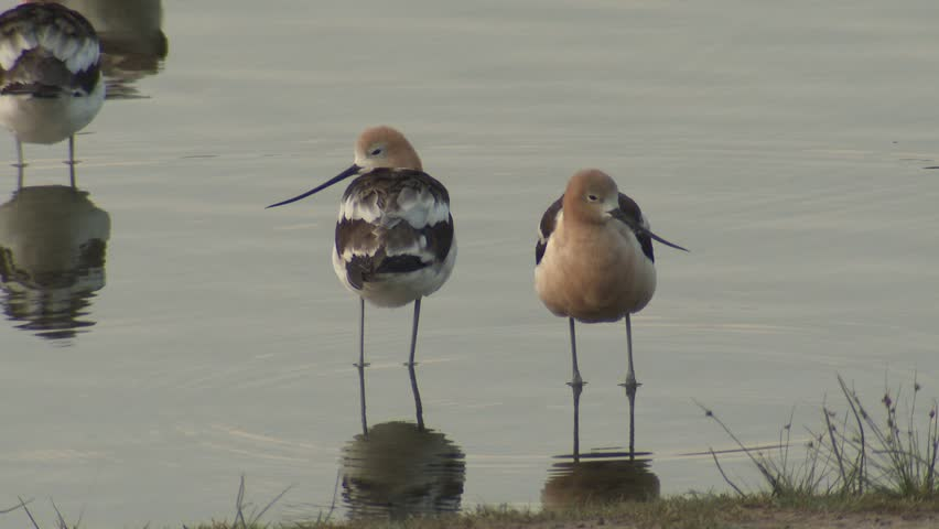 Avocet Adult Flock Many Standing Summer Long Legs Long-legged Wader Wading Bird