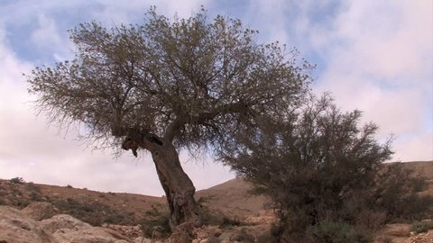 Ancient Pistachio tree in the Negev desert Israel