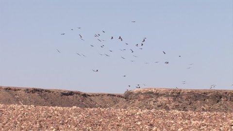 Griffon Vultures in flight over the desert, Sde Boker Israel