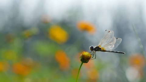 Dragonfly on cosmos flower.