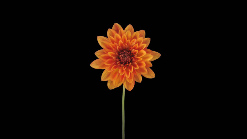 Time-lapse of growing and opening orange dahlia (georgine) flower 8x1 in PNG+ format with ALPHA transparency channel isolated on black background