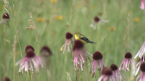Goldfinch Adult Lone Perched Flying Summer Green Grass