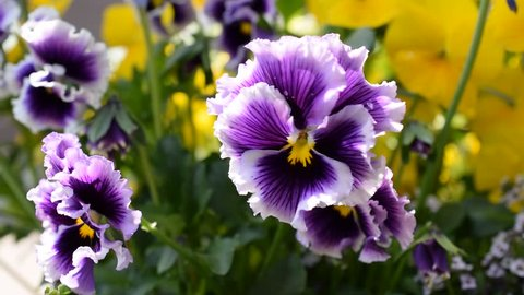 Beautiful pansy flowers.