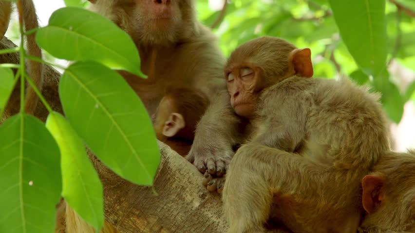 Infant Rhesus Macaque