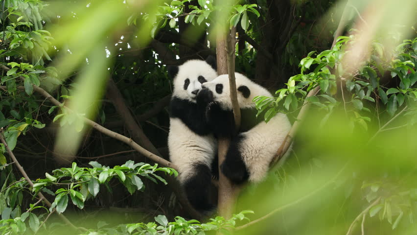 Two Lovely Young Giant Panda Bear Cub Playing fighting the Tree at Chengdu Research Base of Giant Panda Breeding
