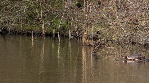 Great crested grebe on nest and male swimming towards female 4K England