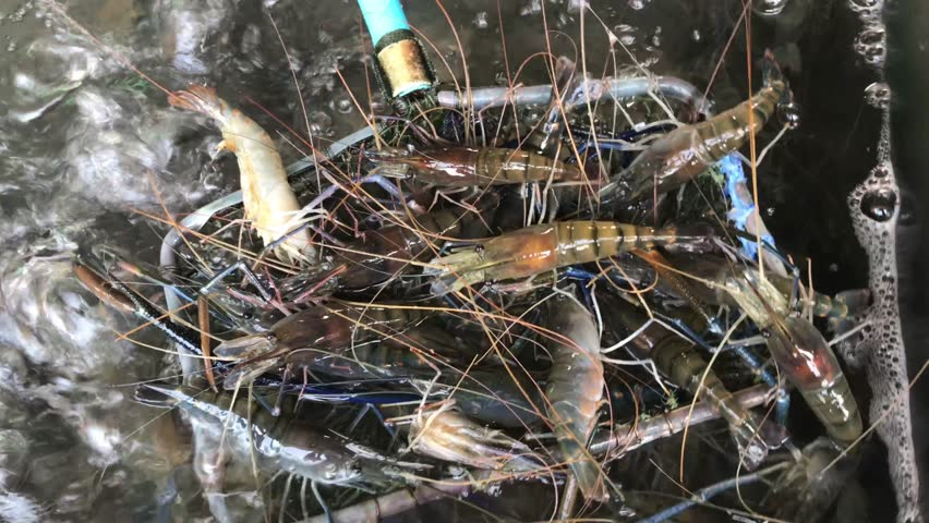 Shrimp in the Net Scoop Stock Footage Video (100% Royalty-free) 1009699592  | Shutterstock