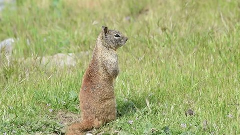 HD Video one brown ground squirrel sitting in green grass. California ground squirrels are often regarded as a pest in gardens and parks, since they will eat ornamental plants and trees.