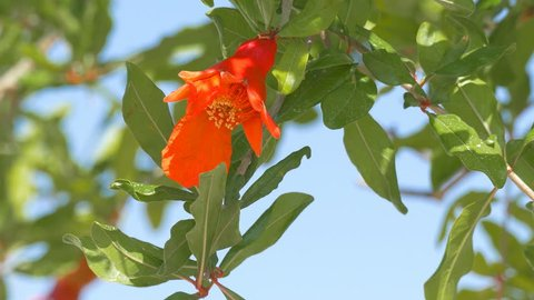 Pomegranate red flowers with small fruits on a tree at wind