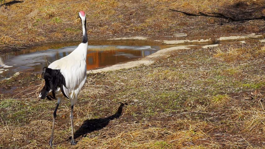 Red-crowned Crane or Japanes Crane walking on grass.