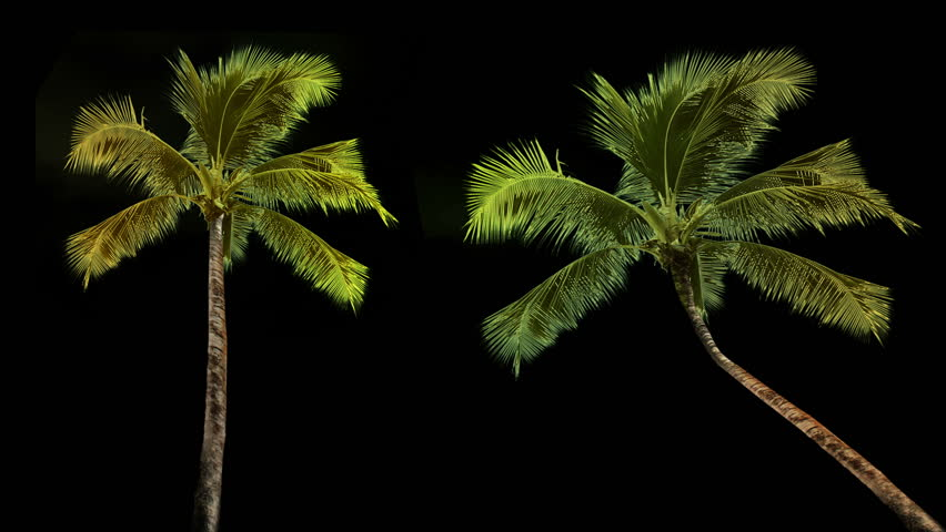 Palm trees isolated with alpha mask and luminance matte on clean background.  | Shutterstock HD Video #1009862942