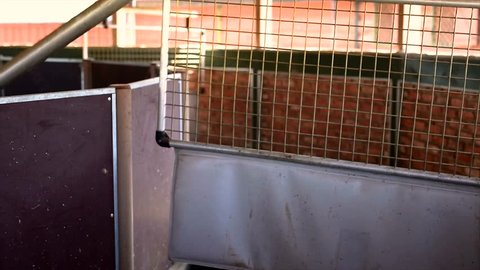 Close up, Automated mechanical hot walker for horses. Automated horse training.