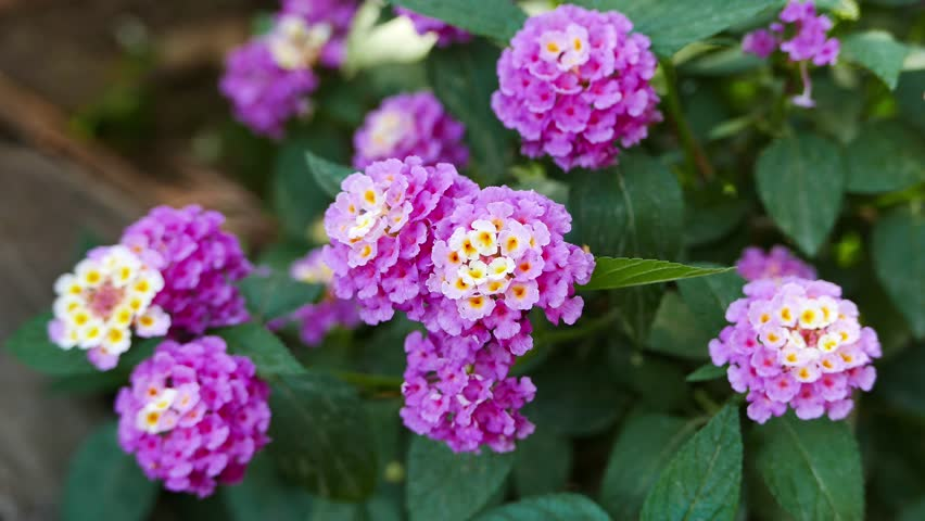 A close-up shot of a purple and white colored Lantana Camara flowers in the spring.