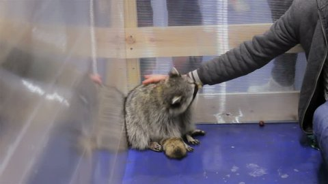 Raccoon Biting Man's Hand Who's Trying to Contact Closely with an Animal