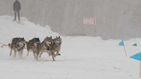 Close-up of husky dog team run in the race through the snowfall. Slow motion shot.