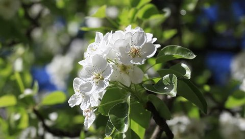 Pear tree blooms. Flowering branch of pears. In spring, the tree blooms with pink white flowers, they are bee-eaten by bees. The branch of the pear tree is illuminated by the sun in the blue sky.