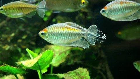 Congo tetra, (Phenacogrammus interruptus) fish in the aquarium
