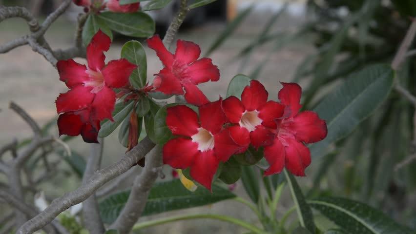 Beautiful floral background Tropical flower Pink Adenium Desert Rose   Shutterstock HD Video #1010012102