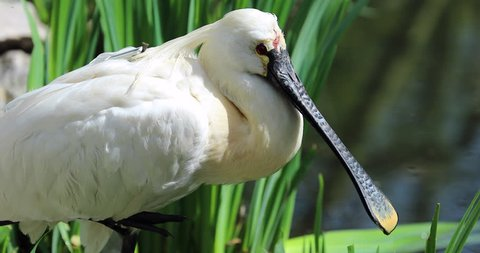 Beautiful Eurasian Spoonbill or Common Spoonbill (Platalea Leucorodia) at a River. Close Up Portrait