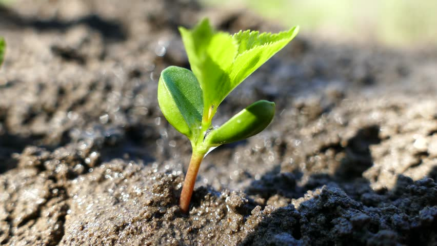 A young tree from the bones germinates. Irrigation and watering the sprout. The sprouted green plant stretches upward. #1010041832