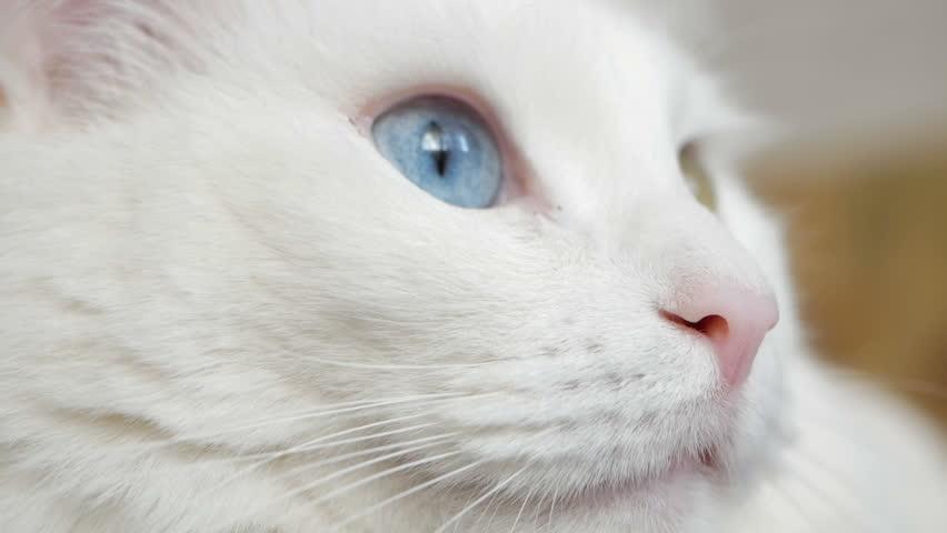 White cat with multicolored eyes macro photography. Turkish Angora looking at camera closeup
