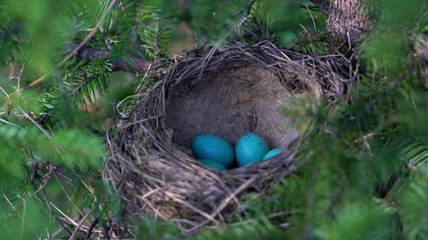 Nest of Song Thrush with eggs