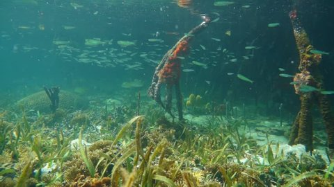 Marine life underwater in the mangrove habitat, Caribbean sea, Central America, Panama