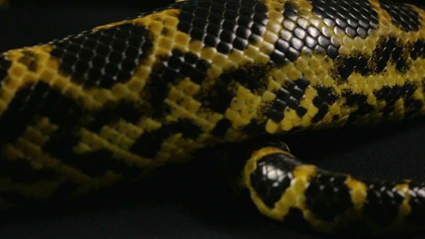 Crawling tail of yellow python #1010119232
