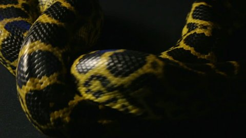 Knot of yellow python