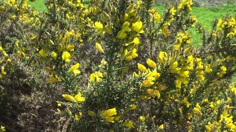Gorse flowering outside