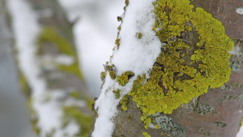 MS Snow and moss on tree trunk / Neustift, Upper Austria, Austria