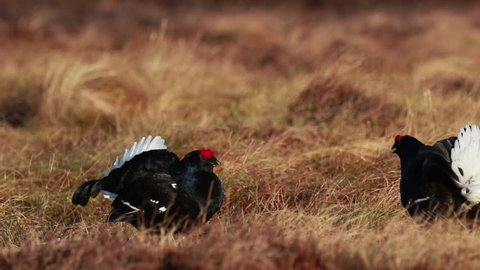 Black grouse males, Lyrurus tetrix, at the lek competing for mating rights on a moorland in cairngorms national park, scotland.