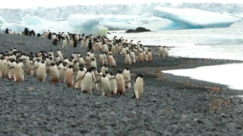 adelie penguin colony at brown bluff being very active, antarctic peninsula, antarctica