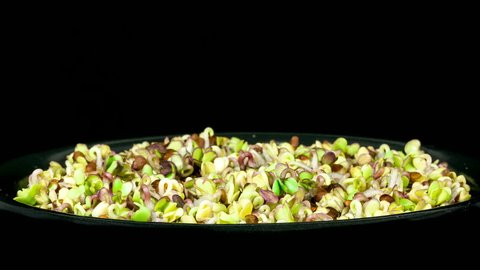 Timelapse of microgreens black radish seeds sprouting and growing in a black bowl on black background side macro view