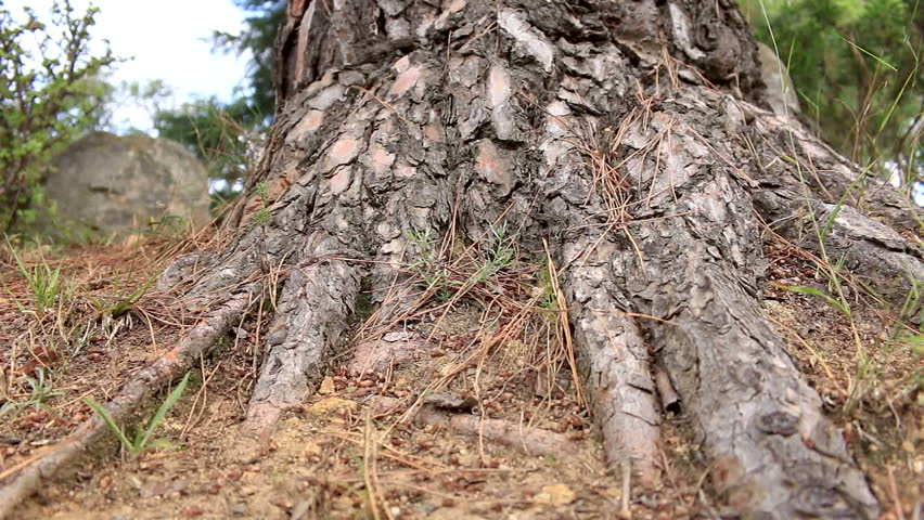Header of Pinus